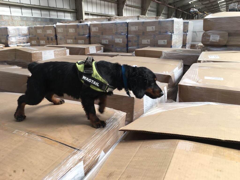 Detection Dog Wagtail UK